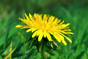 Spring Dandelion with Clear Space