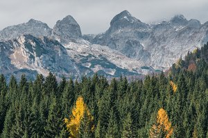 Pine trees and larches in autumn