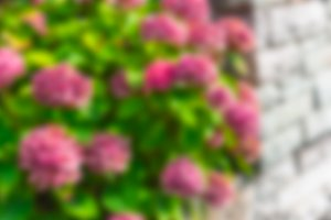 Pink hydrangea flowers blurred