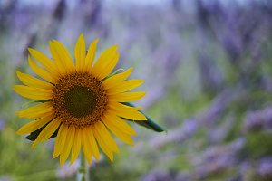 Sunflower in a lavender field