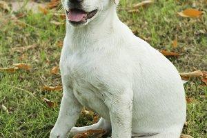 White Labrador Puppy at the garden