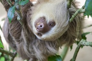 Two toed sloth in a tree