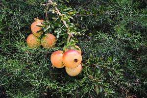 Pomegranates on the tree branch
