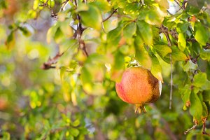 Pomegranate on the tree branch