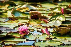water lillies background