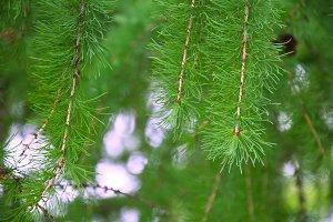 Needles of larch
