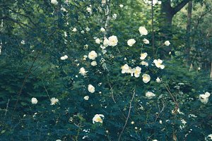 Bush of dog-roses