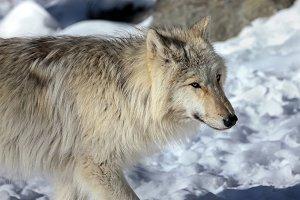 Canis lupus occidentalis  - Canadian