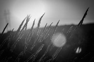 Plentiful Wheat