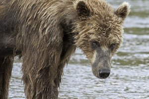 Alaska Brown Bear