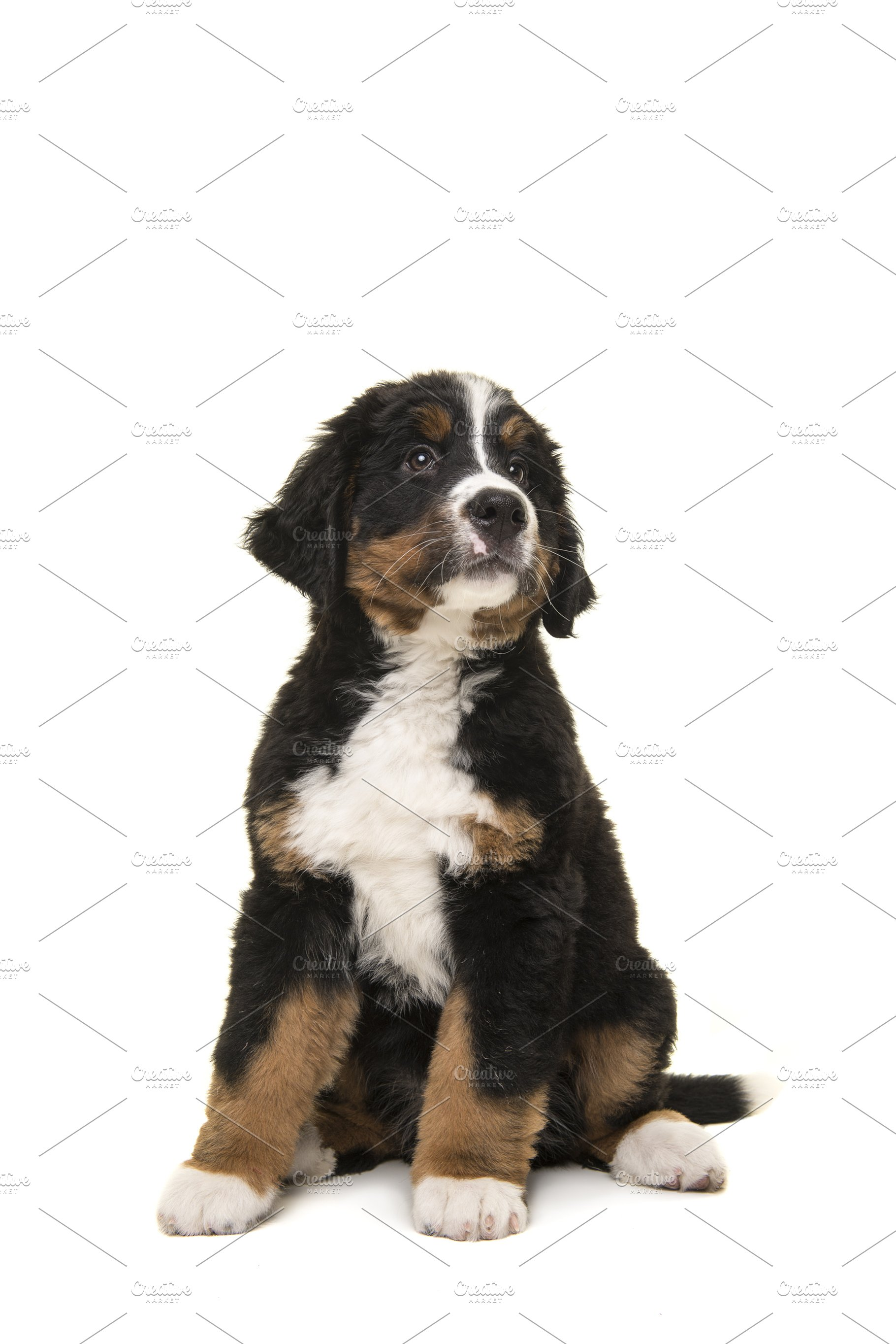 Bernese Mountain Dog Puppy On White