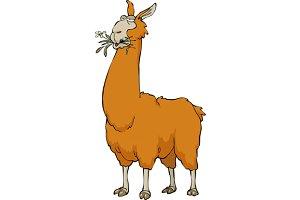 Llama chewing