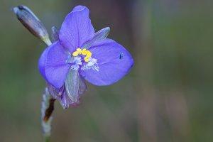 Murdannia giganteum Flower