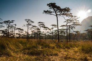 Sunrise behind pine tree and mountai