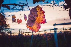 Vineyard autumn leaf