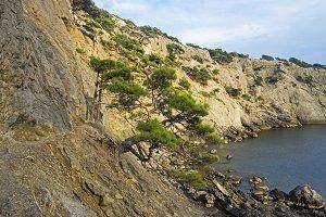 Relic pine trees on the seashore.
