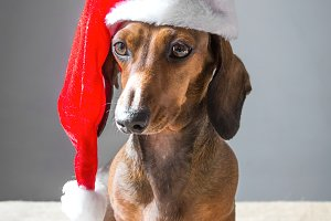 christmas miniature dachshund puppy