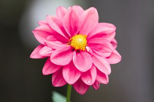 Dahlia - Pink Flower Photography