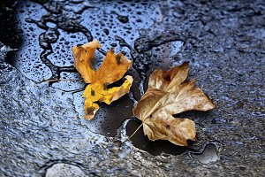 dry maple leaves on wet road - backg