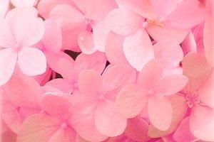 Soft Pink Hydrangea Flower Close Up