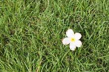 White flower that fell on the grass.