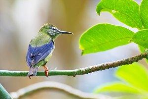 tropical humming bird