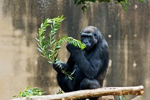 silver backed gorilla eating