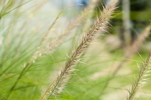 Flower of grass