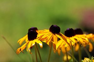 black eyed susan flowers background