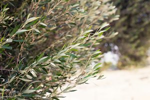 Olive tree branch in the garden