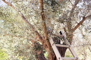 Picking olives in the garden
