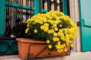 Pot of yellow chrysanthemums