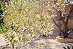 Olives on the tree branch