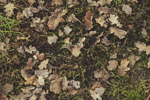 Golden oak fallen leaves