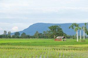 cabin in the rice fields