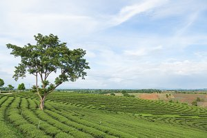 Tea tree farm