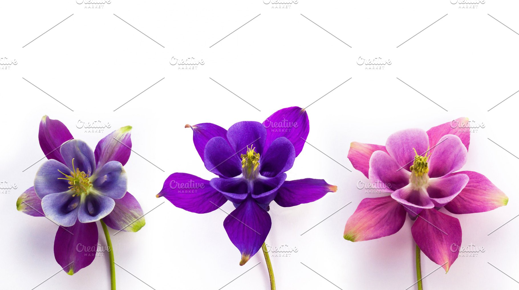 Columbine Flowers Isolated High Quality Nature Stock Photos