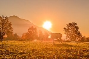 Cows on the meadow at sunrise