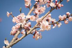 Vintage photo of white apricot tree