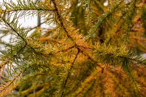 Autumn larches in green and gold