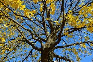 Autumn Maple Tree.