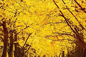Autumn in empty Linden alley