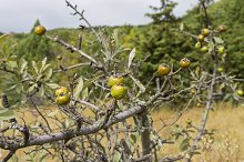 Wild Pear. Crimea, September.