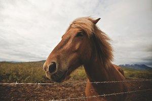 Iceland horse