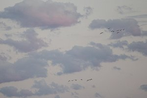 Birds in Flight with Clouds