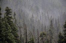 Misty Trees on Hurricane Ridge