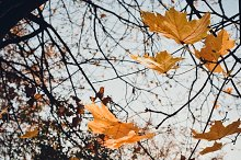 Yellow Leaves at the Wind