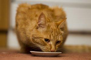Eating ginger cat