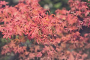 Japanese acer in red