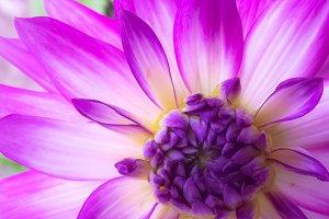 Purple Dahlia Flower Close Up